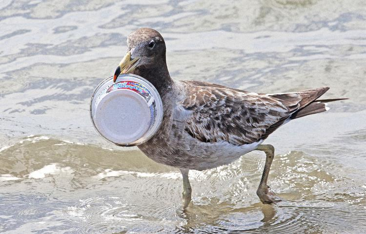 3051056 poster p 1 by 2050 99 of seabirds will have plastic in their guts
