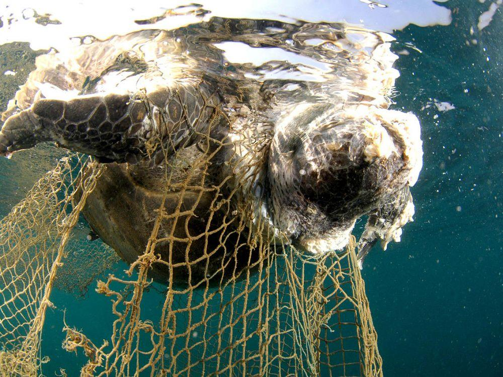 Cover r4x3w1000 5a37dc7f61169 1280px corpse of a sea turtle drowned in a fishing net