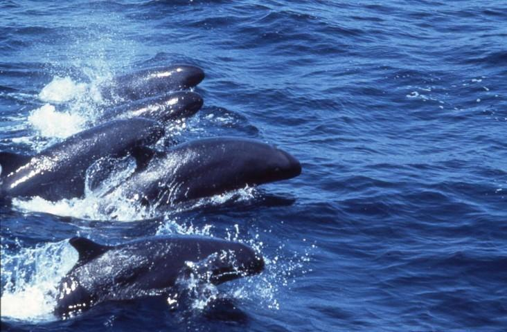 False killer whales bob pitman 1024x671