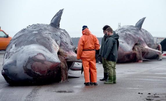 Germany animals strandedwhales