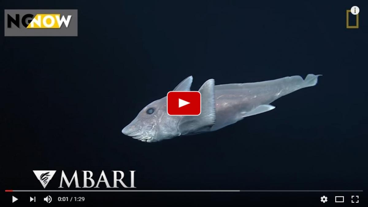 Ghost shark caught on camera for the first time 2