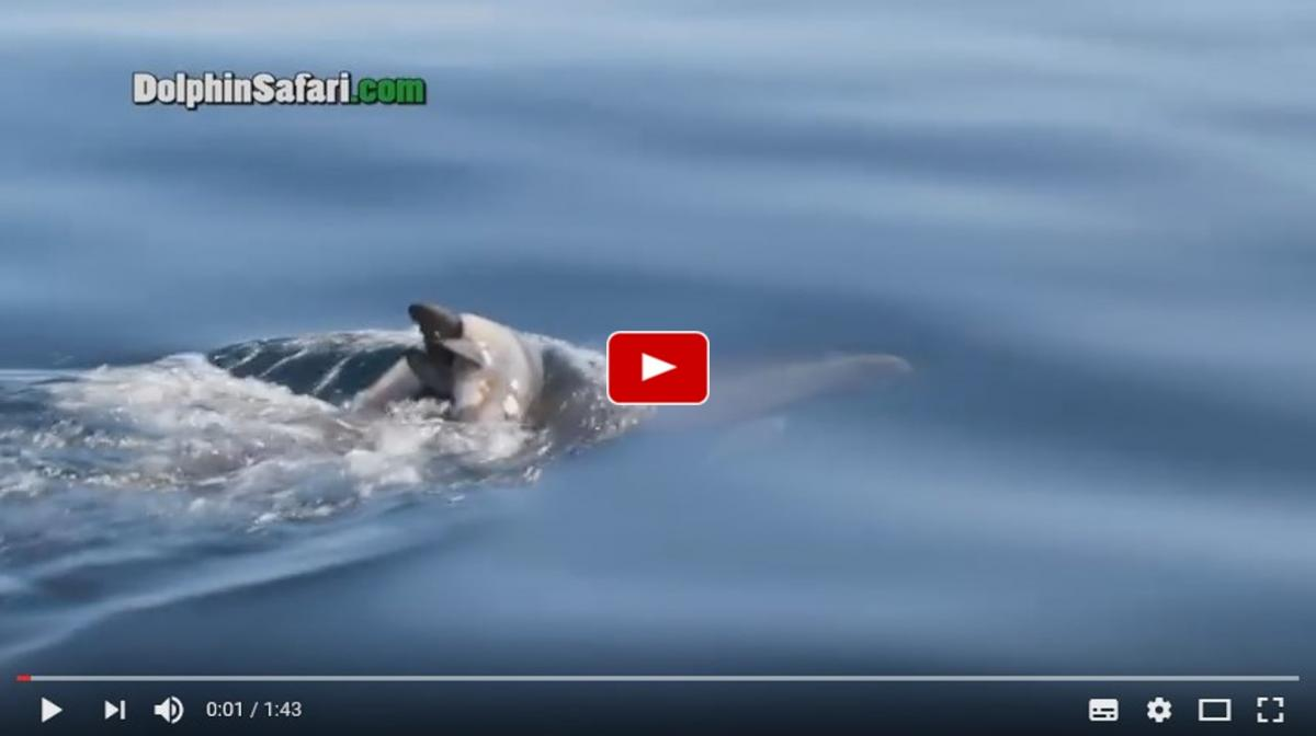 Grieving dolphin carries dead calf around for days