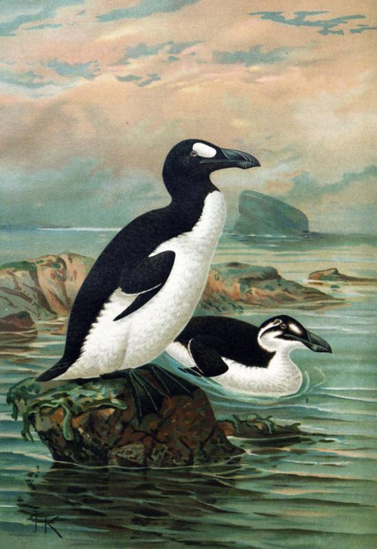 Keulemans greatauk