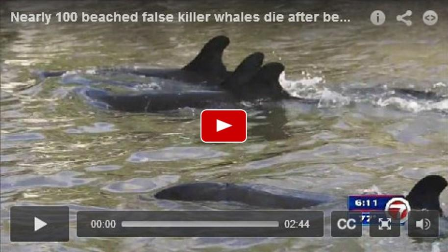 Nearly 100 beached false killer whales die