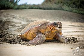News 150423 1 140818 sa 001 loggerhead heading back to ocean after laying 1618 280w