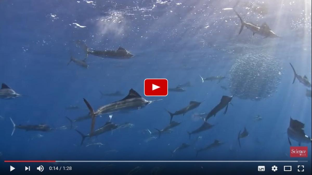 Sailfish slasher film sheds light on evolution of group hunting