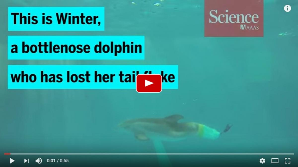 Watch a dolphin swim with an artificial fluke