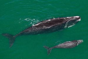 01 north atlantic right whale nationalgeographic 1214878