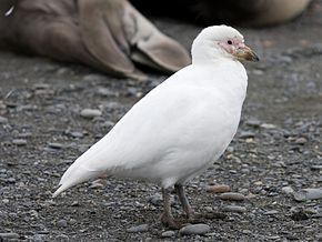 290px chionis blanc pale faced sheathbill