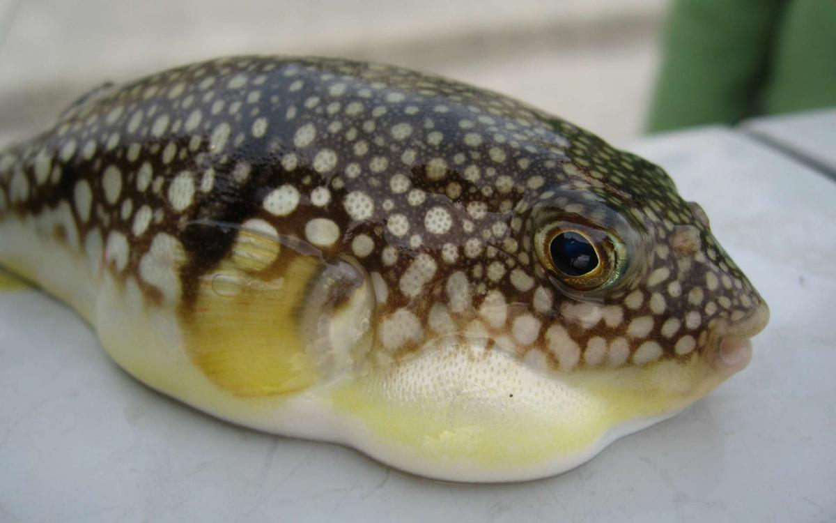 9c79880cfb 50145073 fugu jim wikipedia
