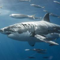 Cicatrices requins blancs 2
