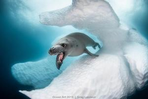 Cold water1 greg lecoeur crabeater seal copy 1