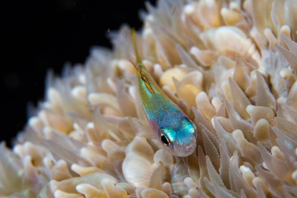Coral relies on small cryptobenthic reef fishes 01