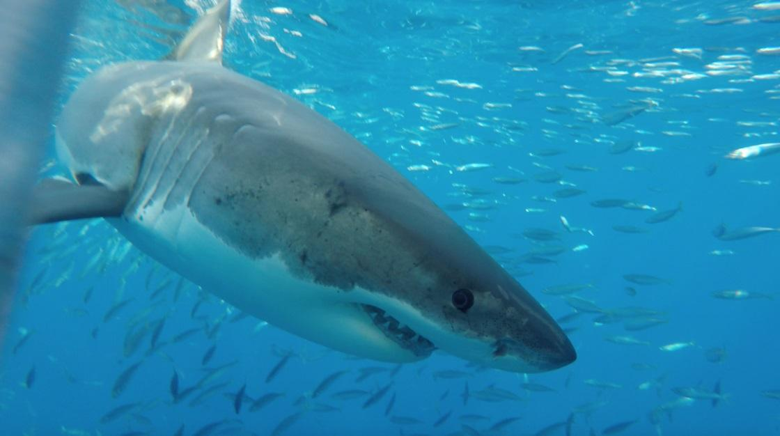 Gd requin blanc