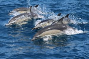Dauphins communs. © firmm (foundation for information and research on marine mammals)