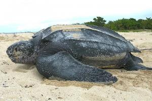 Leatherback sea turtle tinglar 1