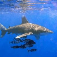 Oceanic whitetip shark 3
