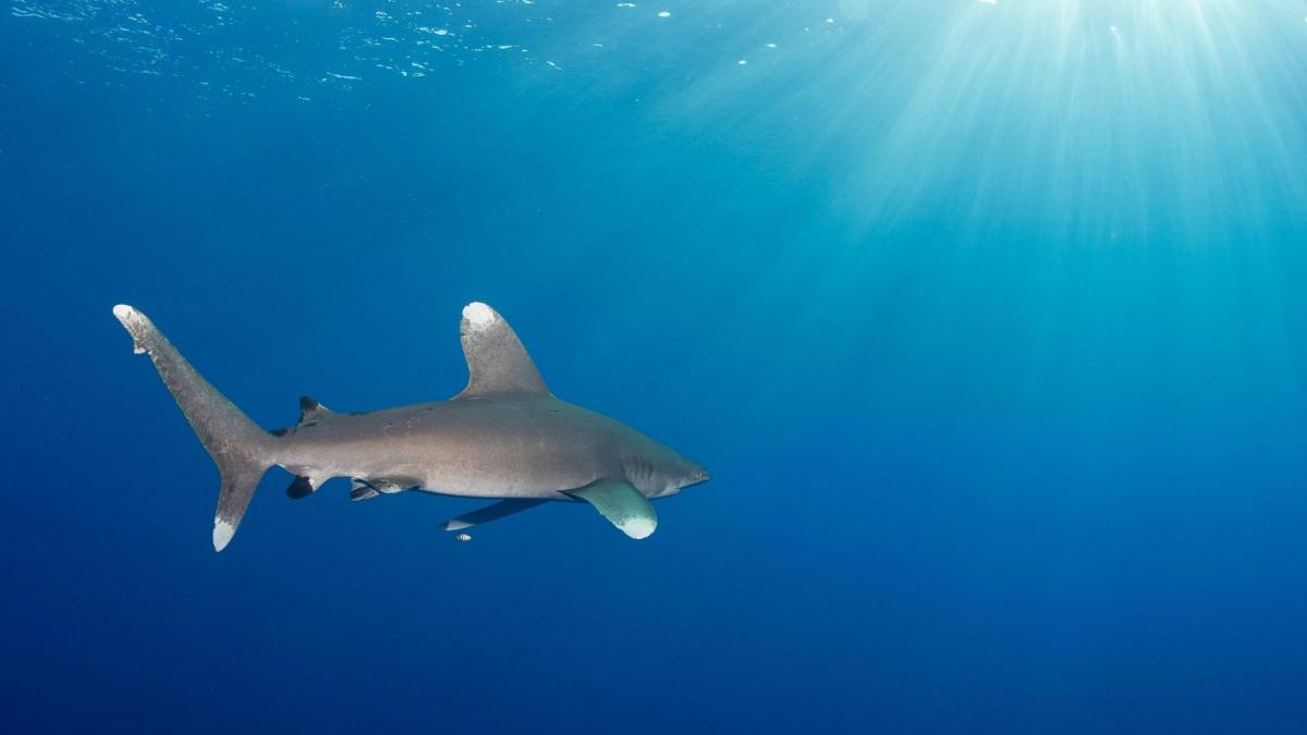 Oceanic whitetip shark wwf2