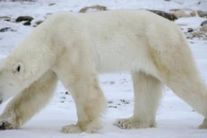 Ours polaire hiver 2 1024x577 1