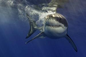 Le grand requin blanc - Carcharodon carcharias