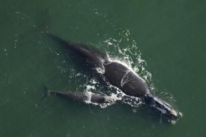 Right whale and calf fwc 2019