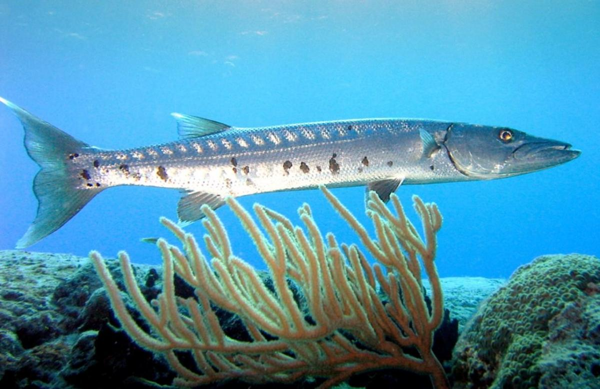 Un barracuda © Laban712 – Wikimedia commons
